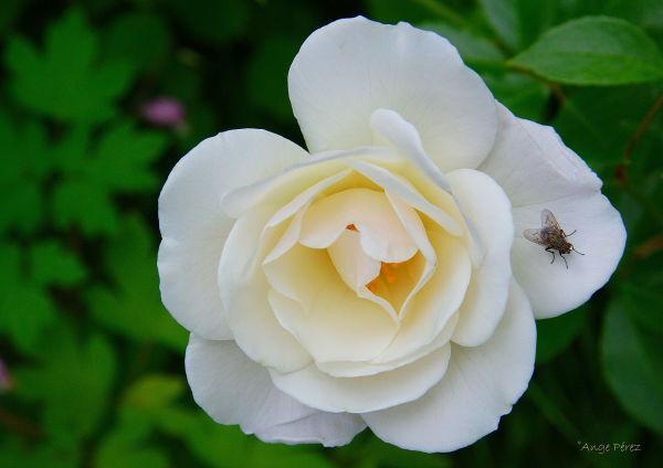 Une mouche sur un pétale de rose