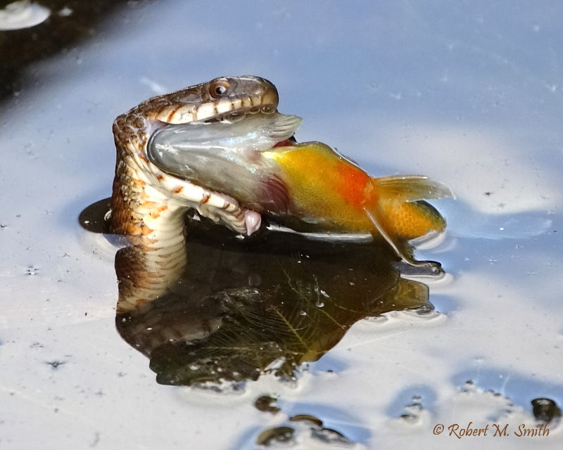 Watersnake eating a fish