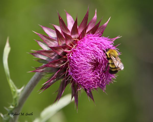 Bee eating a thistle