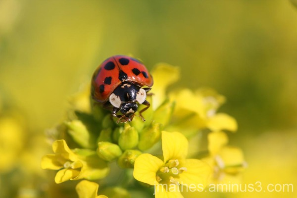 Ladybug rests on a flower