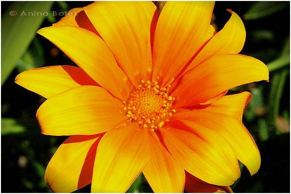 Orange, Flower