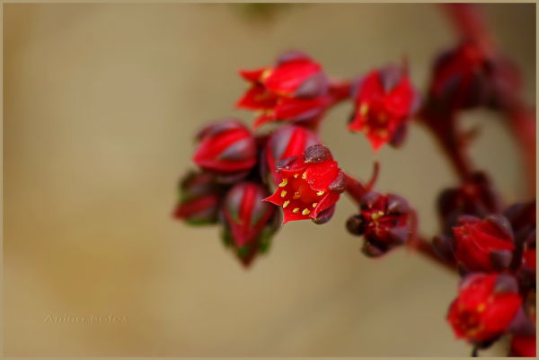Red, flowers, little, macro