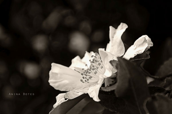 Sepia, White, Flower