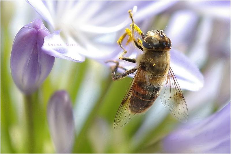 Bee, Macro, NZ