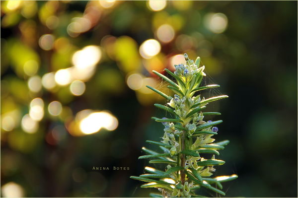Winter, light, rosemary, new life, bokeh, NZ