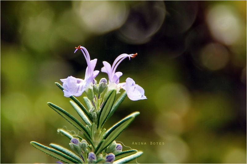 winter light rosemary flower new life bokeh nz