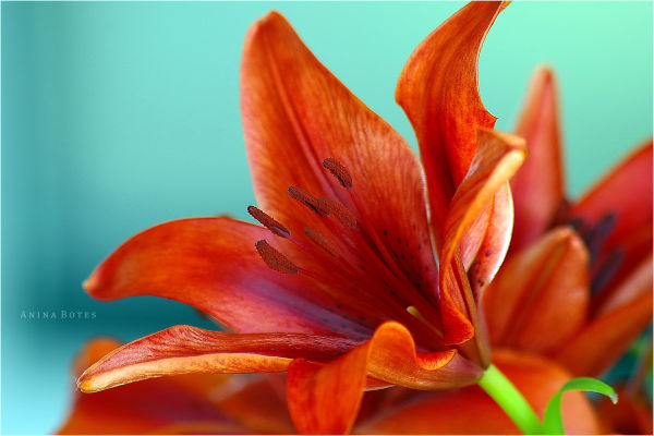 daylily, orange, NZ, close-up