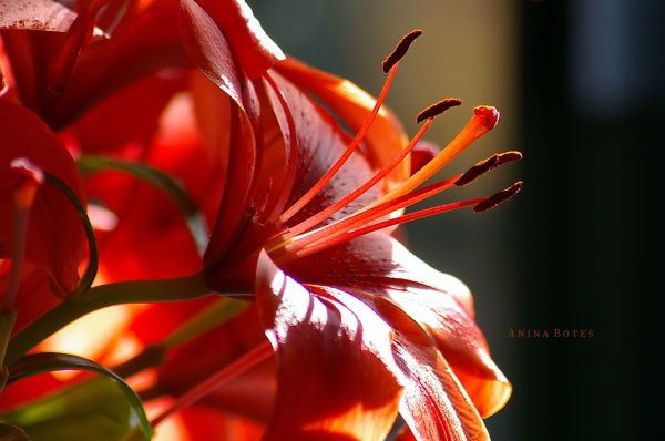 daylily orange nz close-up
