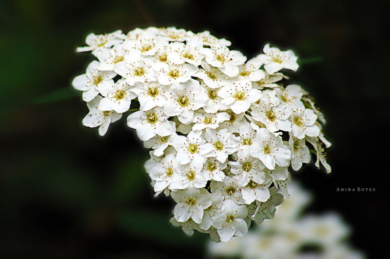 White, Flowers, Close-up, NZ