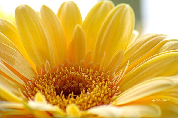 Daisy, Flower, Yellow, Macro