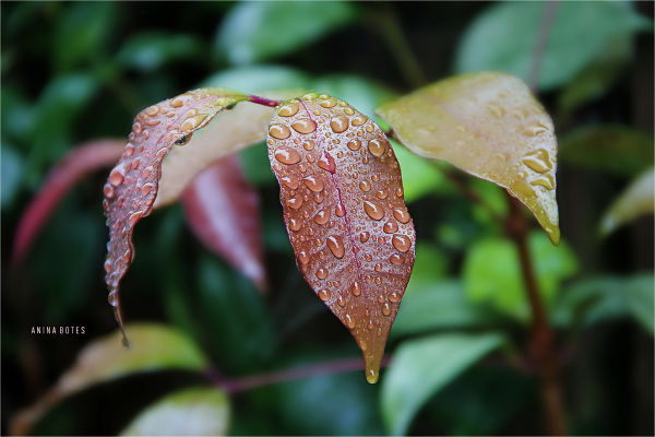 Leaves, Rain Drops, NZ