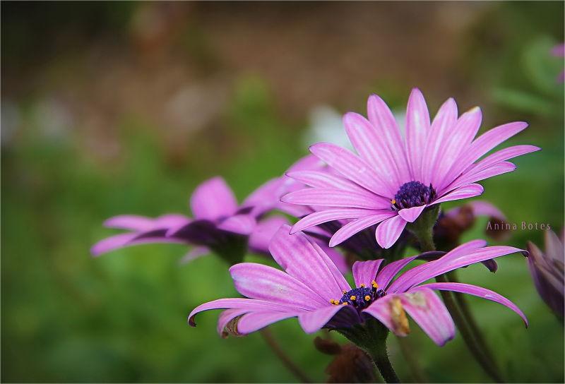 Purple, Daisies