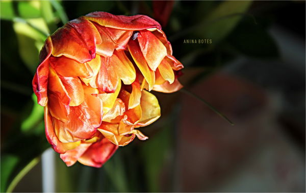 Tulip, Dying, Light, Orange, Yellow, Close-up