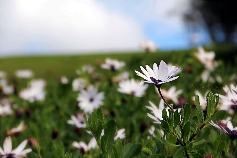 Daisies, white, NZ