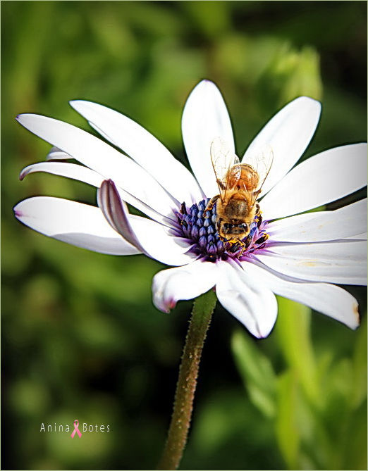 Daisy, Bee, Summer, NZ