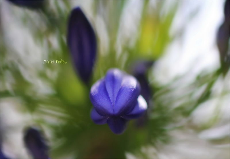 Purple, flower, 50mm, Macro