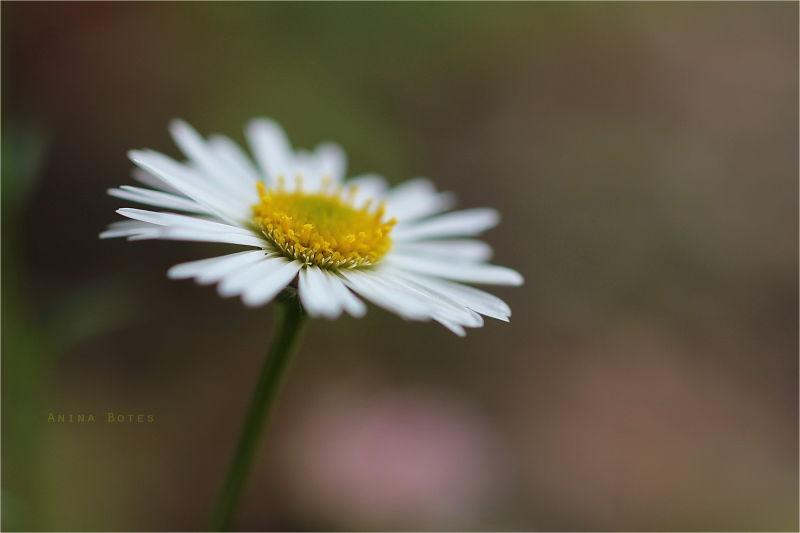 Daisy, DOF, Macro, 50mm