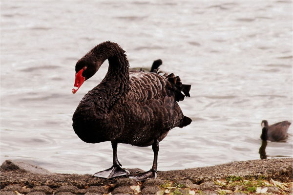 Black Swan, New-Zealand