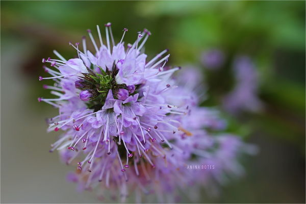 Flower, Purple, Macro