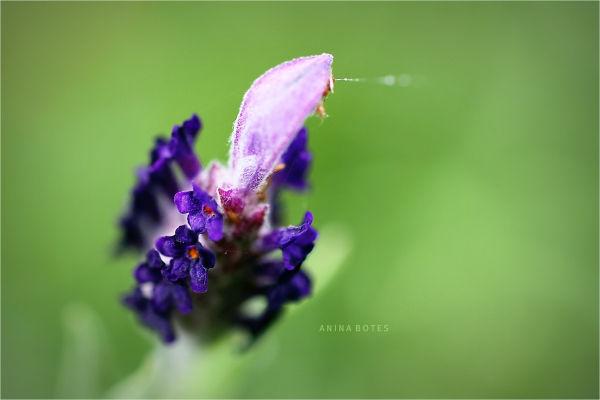 Lavender, Macro, 50mm