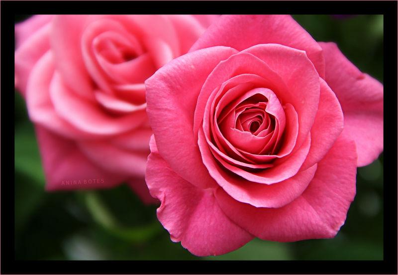 Pink, Rose