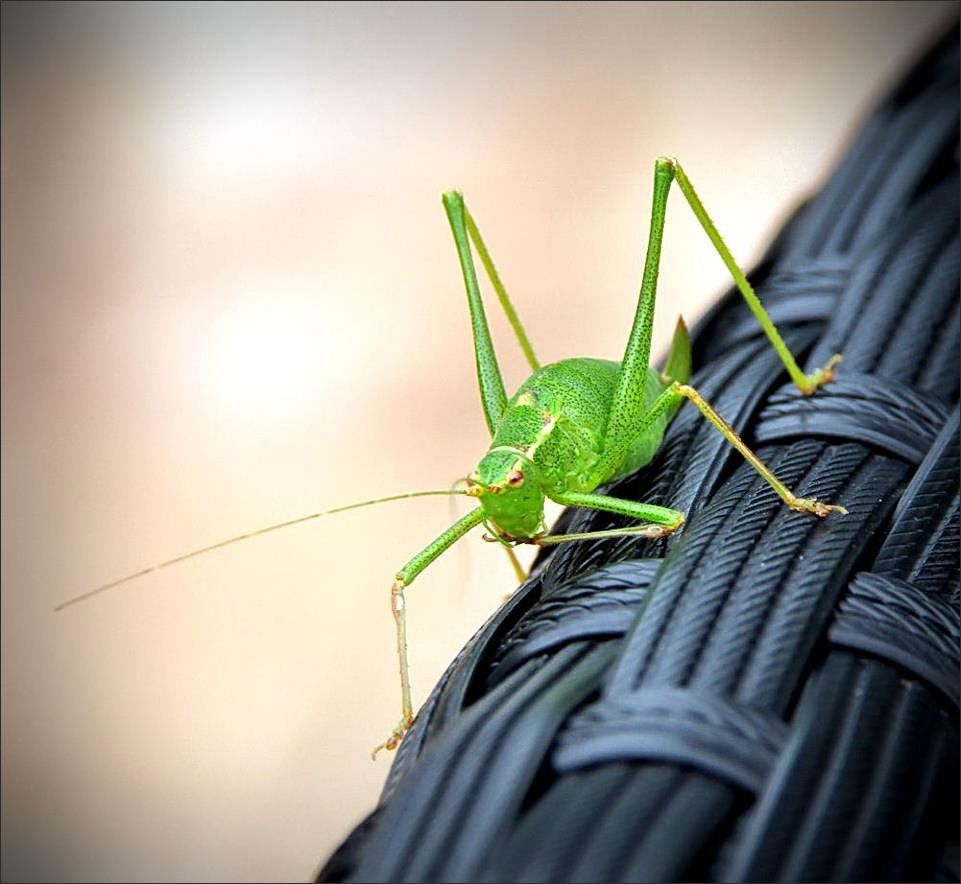 grasshopper, insect