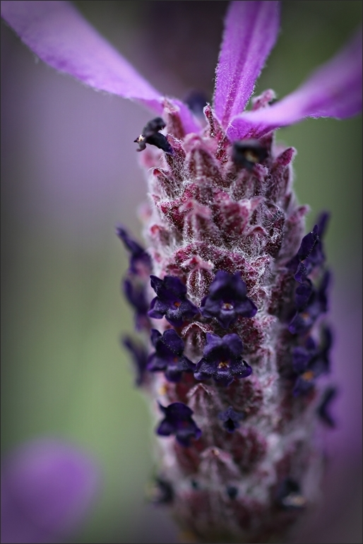 Lavender, flower, nz, macro, 50mm, 6d
