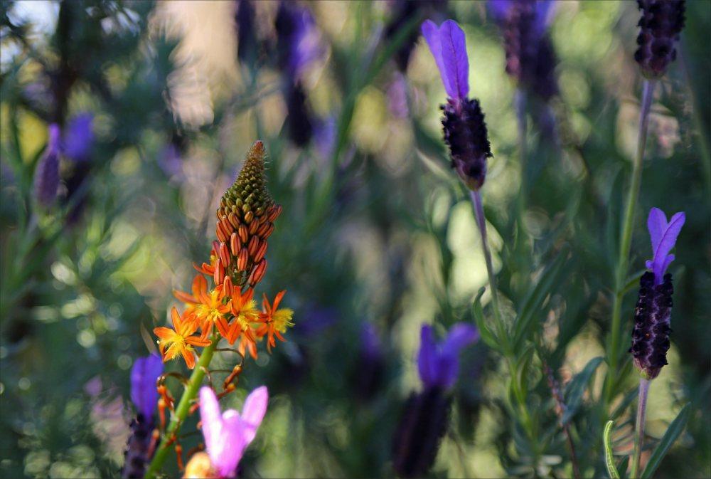 Lavender, flower, nz, macro, 6d