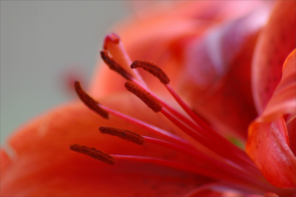 lily, macro