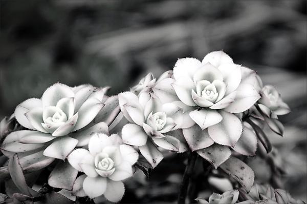 plant, succulent, B&W