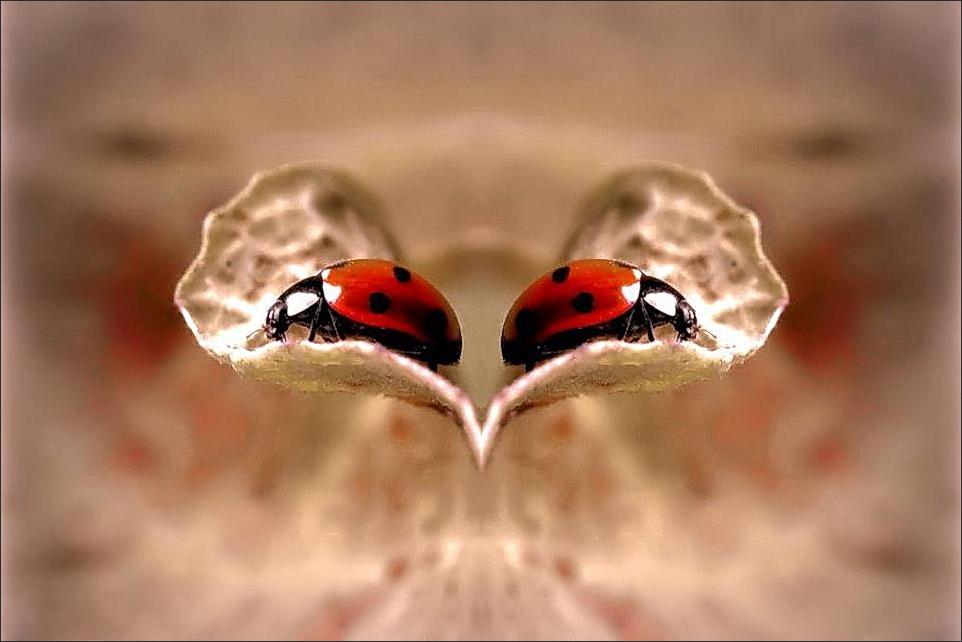ladybug, heart