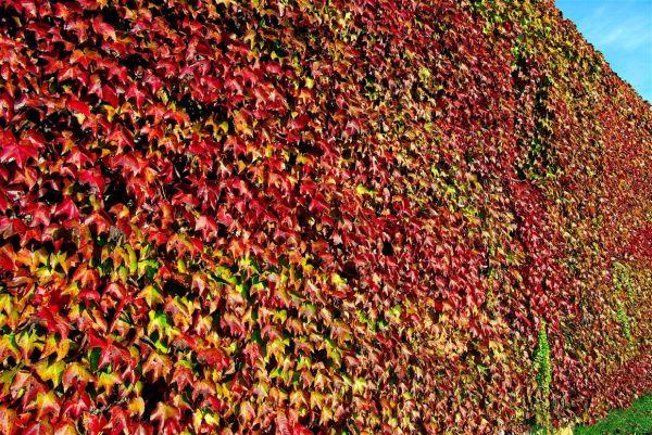 L'automne fait le mur