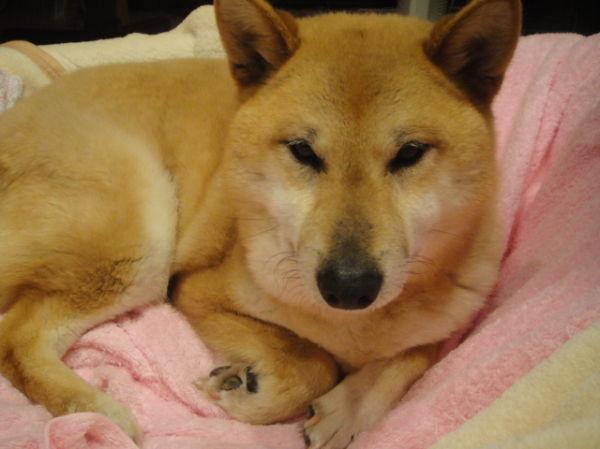Chibi-tan, the Shiba, in her bed