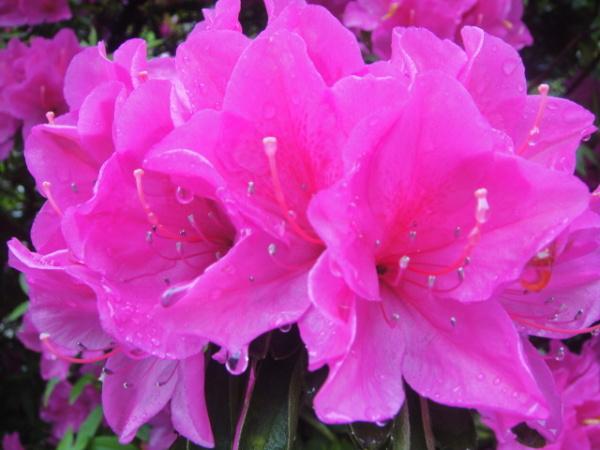 Azaleas in rain