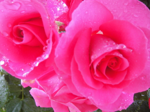 Closeup of lovely wet roses