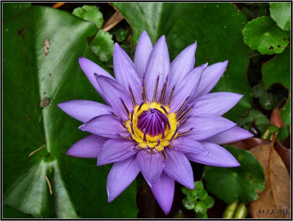 La position du Lotus