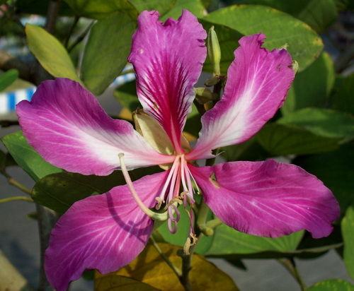 Bunga Kupu-kupu