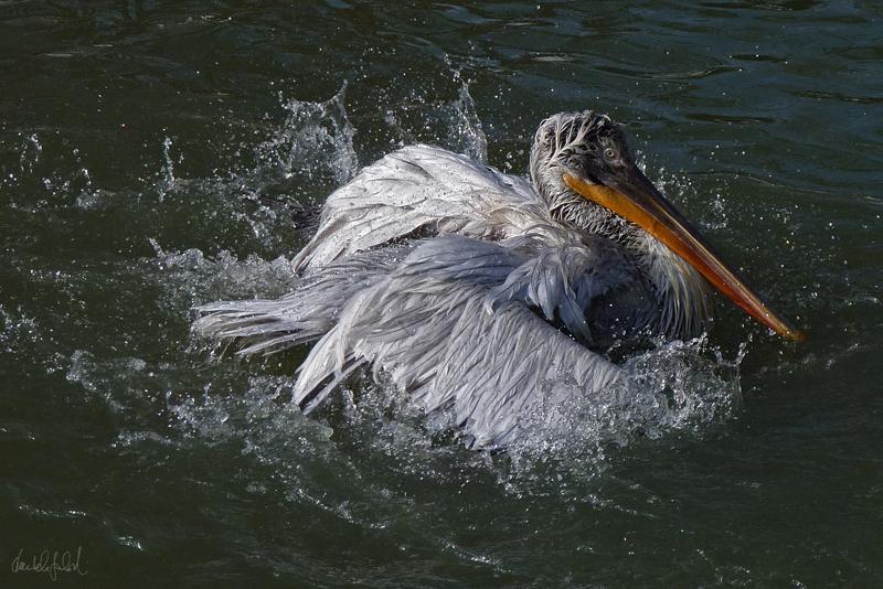 3/3 pelican