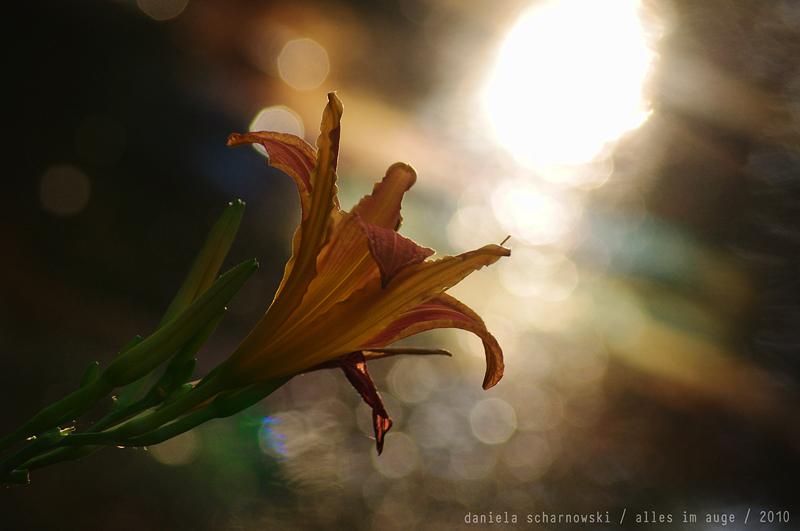 daylily sunset