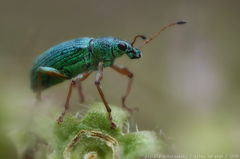 weevil .... from the land of myth
