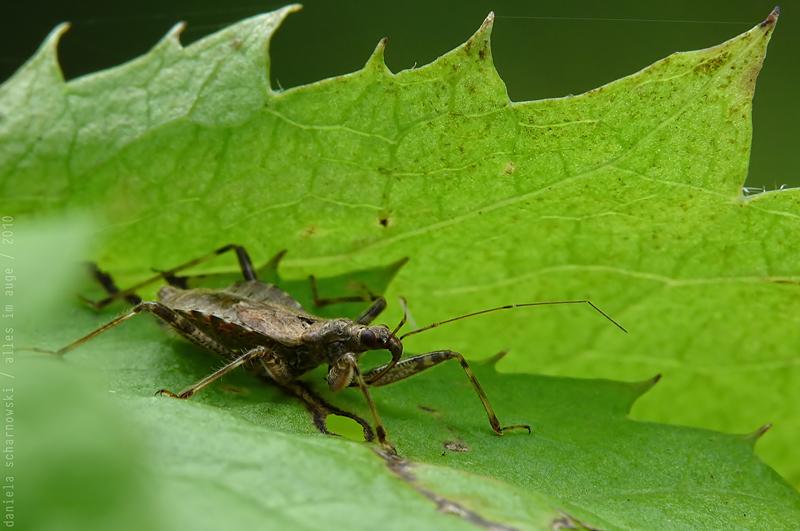 Himacerus apterus