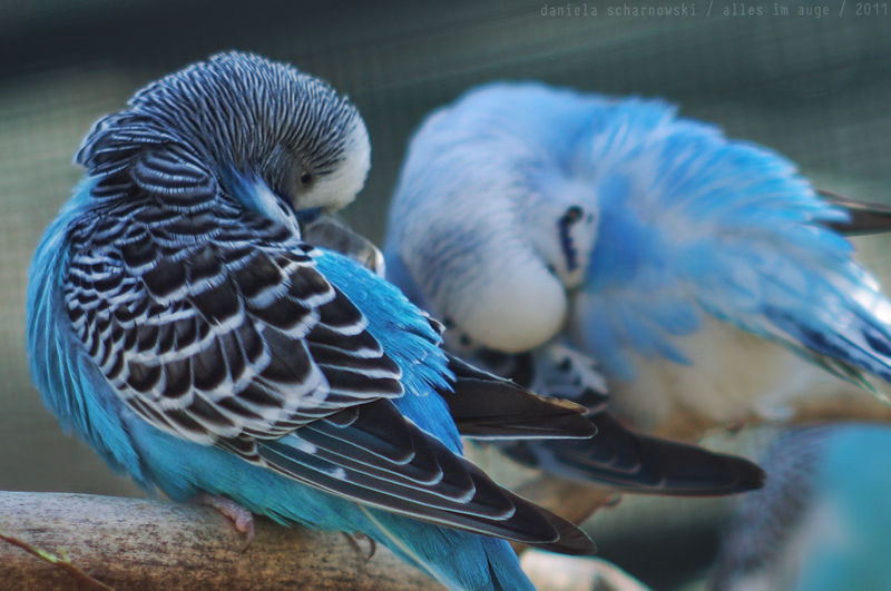 feather grooming