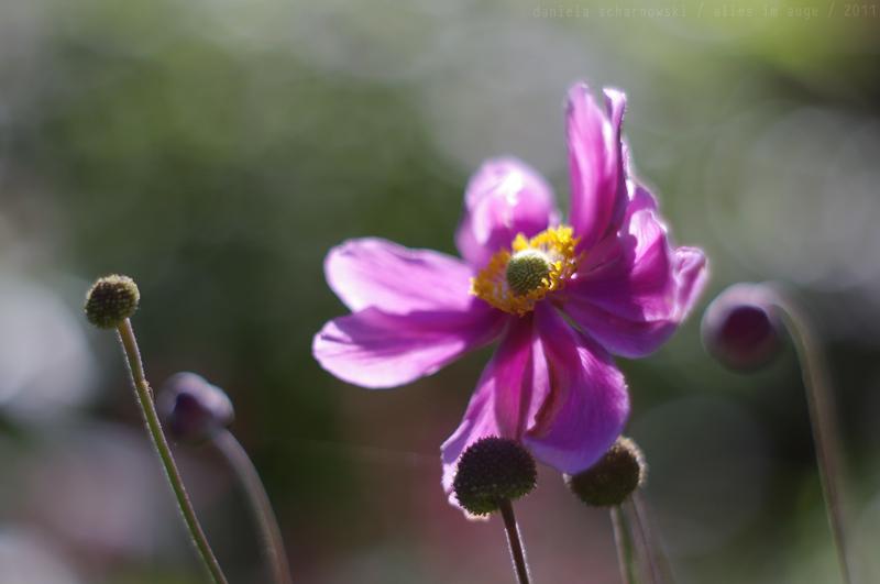 windflower````