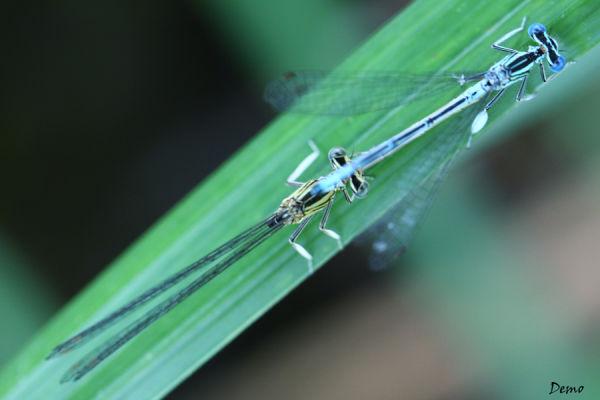 libellule dragonfly demoiselle