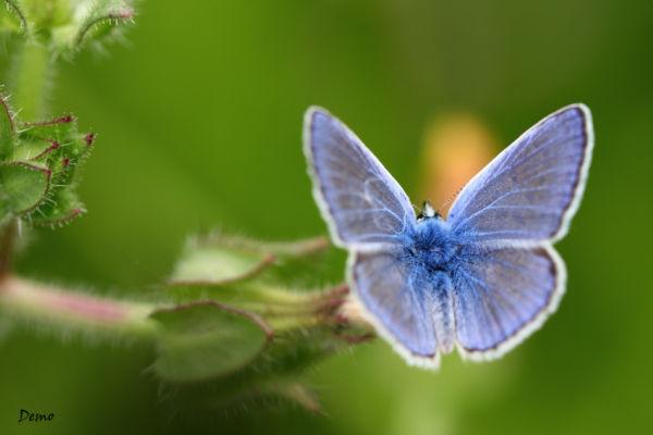 papillon argus-bleu