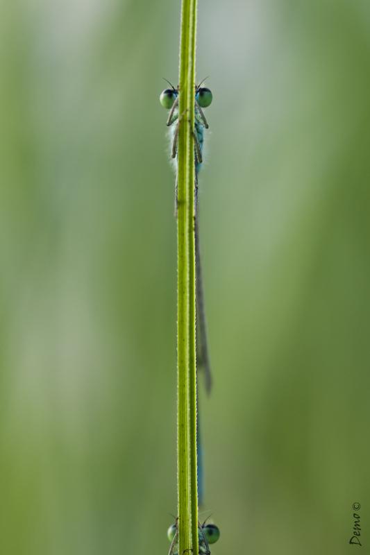 libellule agrion