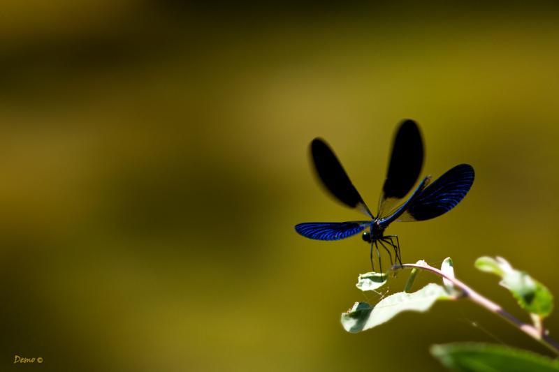libellule demoiselle agrion