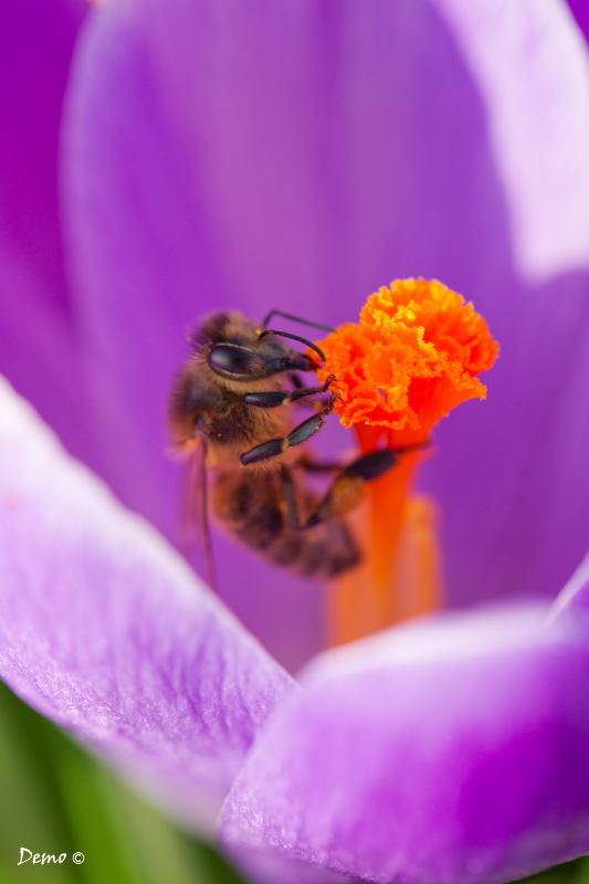 plante, macro, crocus, abeille