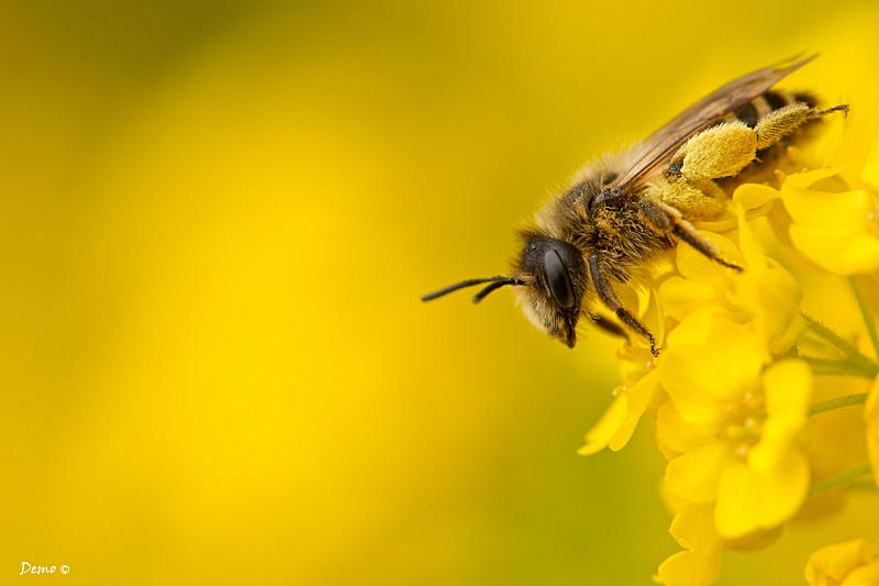 abeille, demophoto
