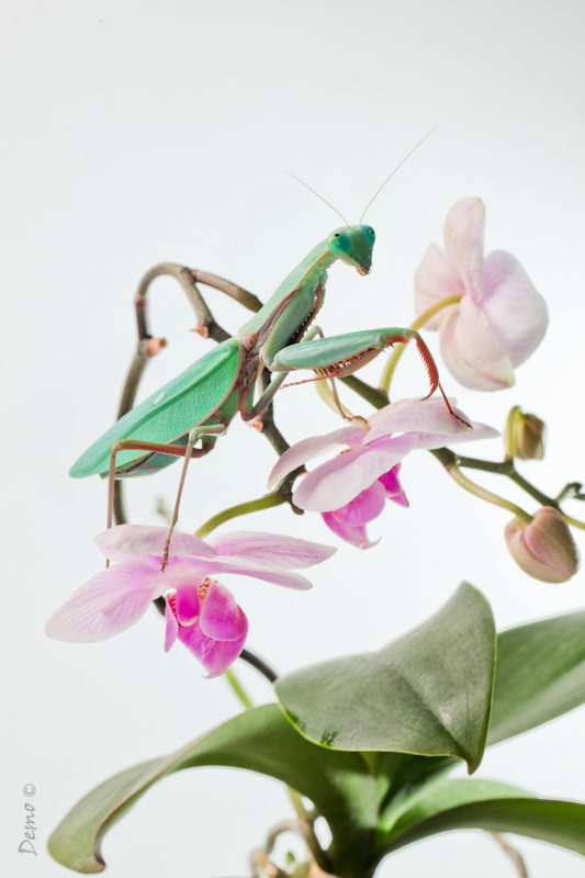 mantis, demophoto, arthropodia